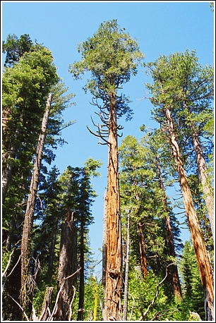 Sugar Pine Point SP - Big Trees