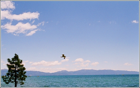 Seagull over Tahoe