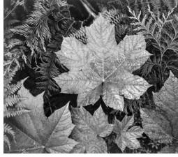 Leaf in Glacier National Park (US Archives)
