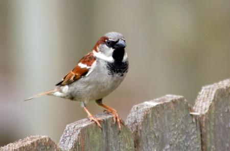 House Sparrow Facts House Sparrow