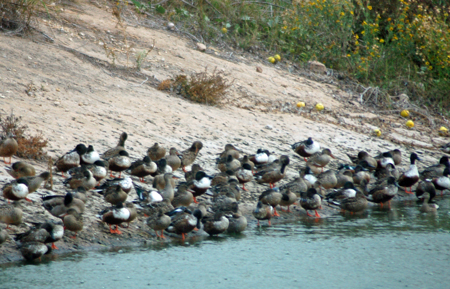 A clusterduck. Mostly Northern Shovelers.