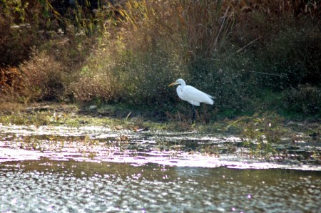 The Great Egret again