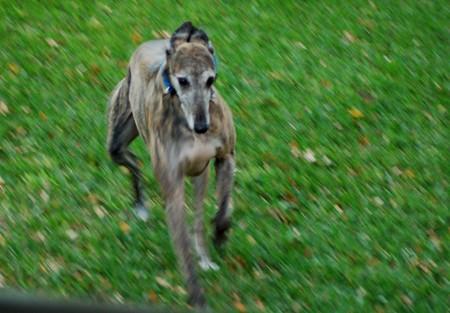 Joey races across the yard