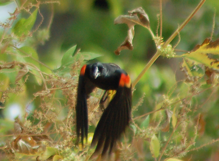 Red-winged Balckbird in flight