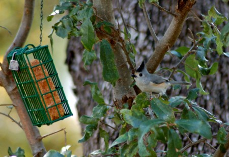A Black-crested Titmouse eyes the suet feeder