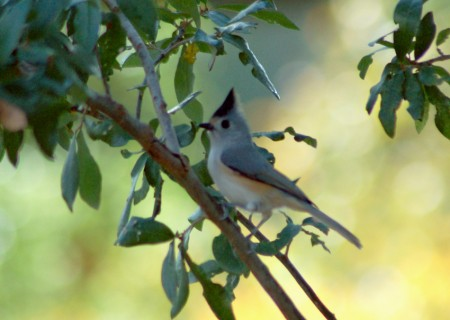 A Black-crested Titmouse