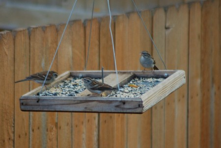 The 3 Chipping Sparrows I counted