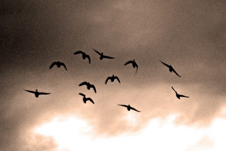 Ducks in Flight 1