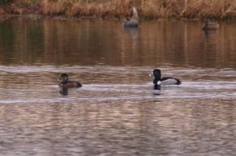 Ring-necked Ducks in the pond down the street
