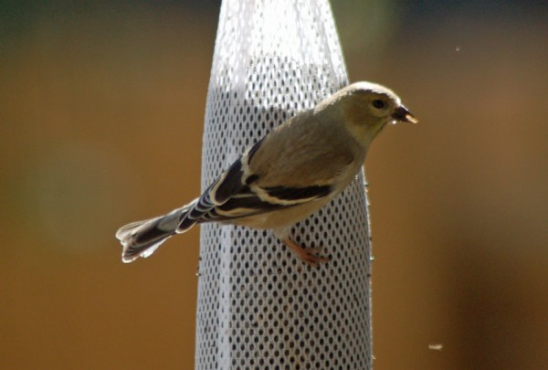 American Goldfinch in winter non-gold plumage