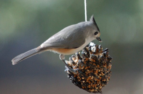 Black-crested Titmouse on the pinecone feeder