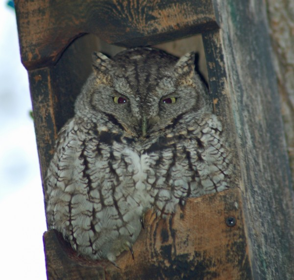 """""""Ollie"""" the Eastern Screech Owl"""