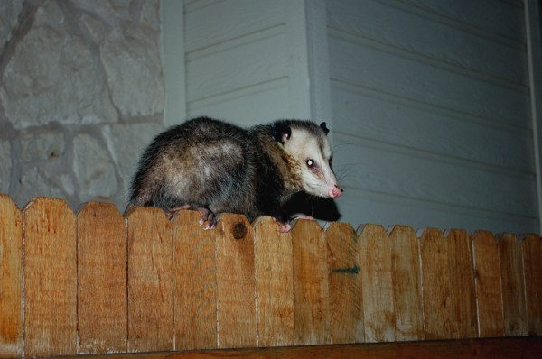 A possum fenced by the dogs