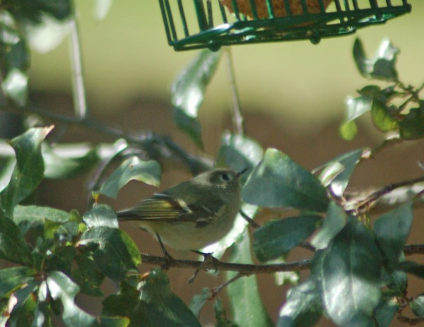 A Ruby-crowned Kinglet considers the suet feeder