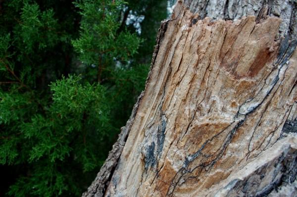 Tree and Cedar