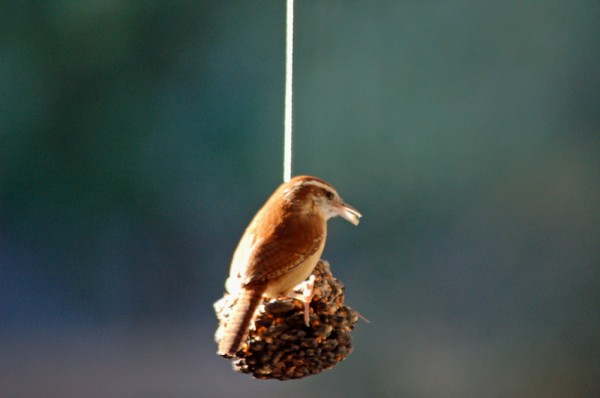 A Carolina Wren stops by early