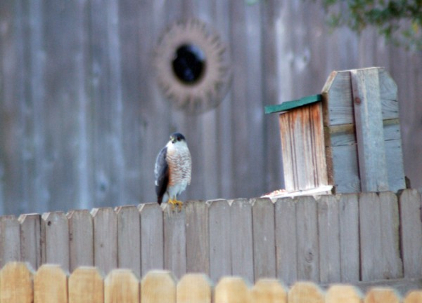 Cooper's or Sharp-shinned Hawk on the neighbor's fence