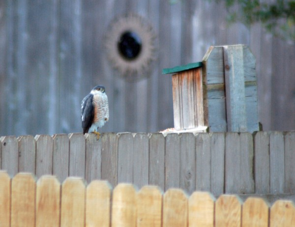 Accipiter hawk relaxing on the neighbor's fence