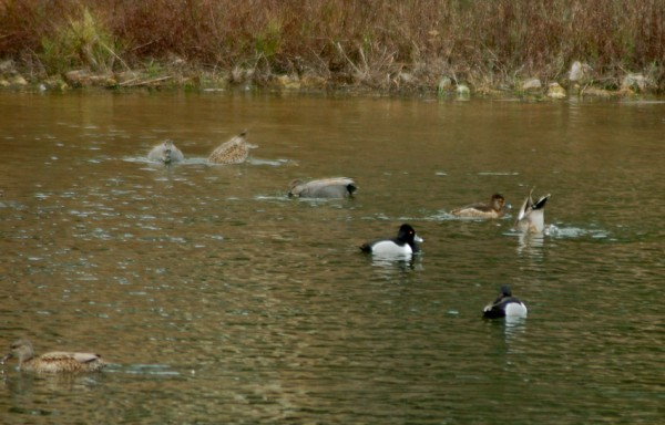 Ring-necked Ducks and Gadwalls
