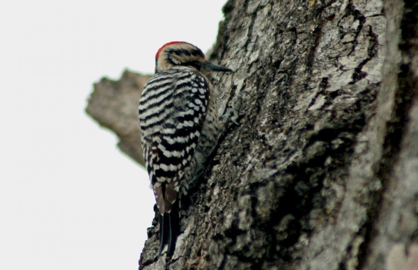 A Ladder-backed Woodpecker lets me get close