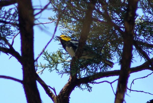 A Golden-cheeked Warbler
