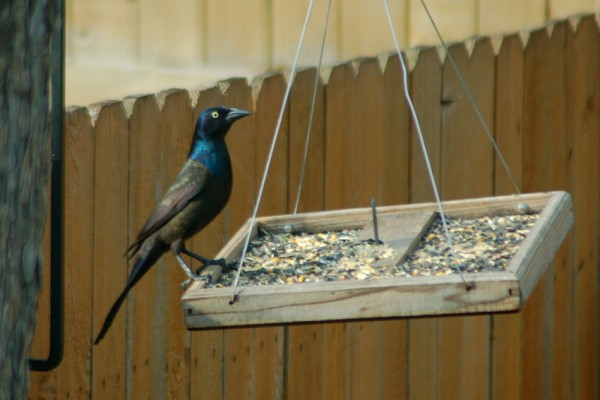 A Common Grackle looks around the yard
