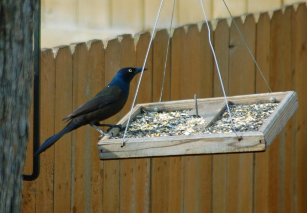 Grackle on the Feeder 2