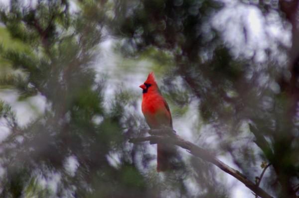 Cardinal singing for spring