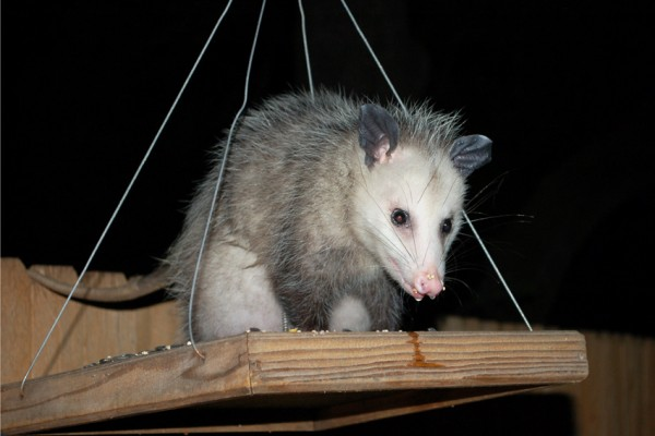 A possum visits the bird feeder