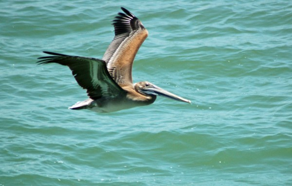 Brown Pelican following Boliver Ferry