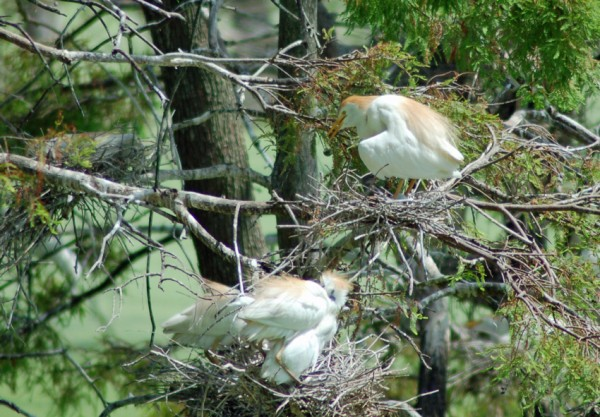 Cattle Egret and nestlings