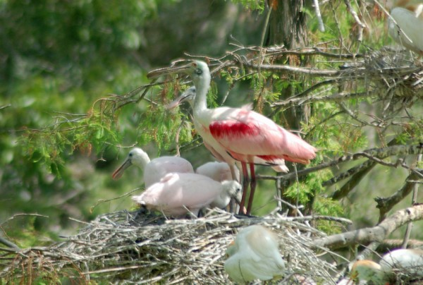 Roseate Spoonbill watches over nestlings