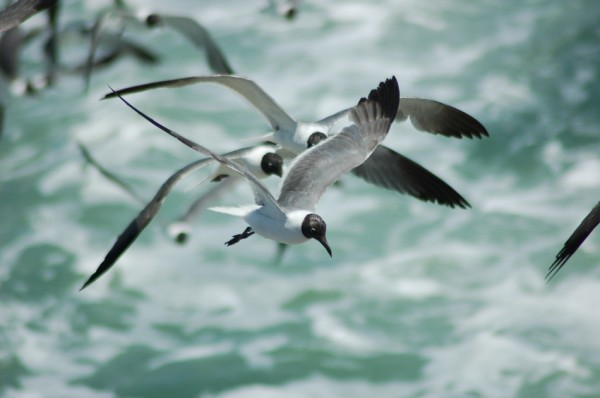Squabble of Laghing Gulls 1