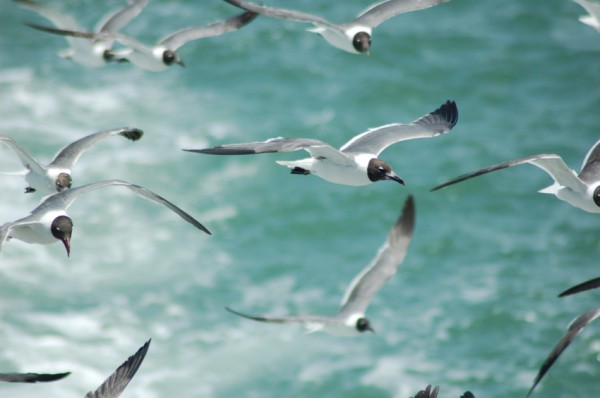 Squabble of Laghing Gulls 3