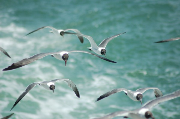 Squabble of Laghing Gulls 5