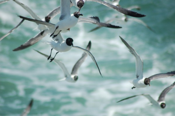 Squabble of Laghing Gulls 6