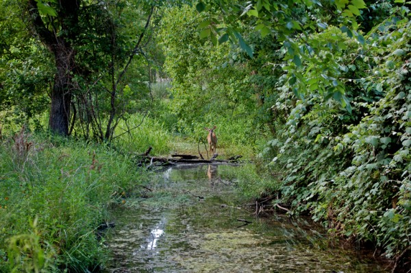 White-tailed Deer on the Stream
